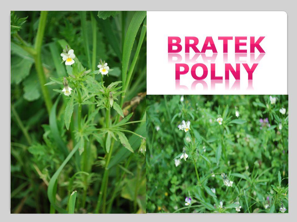 BRATEK POLNY - roślina o wysokości 10-20cm.