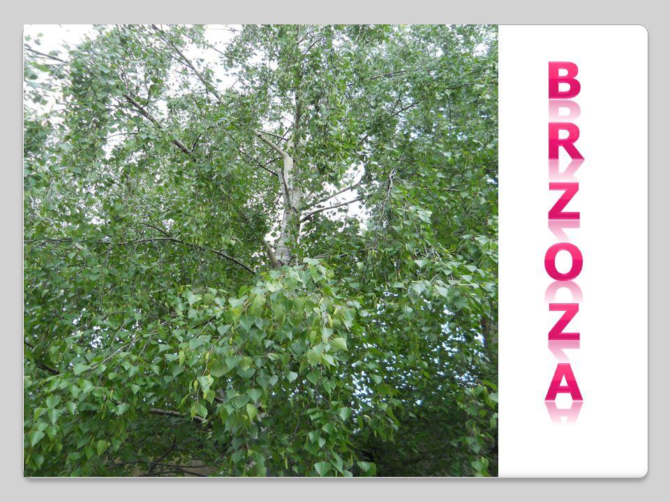 BRZOZA -rodzaj drzew i krzewów należący do rodziny brzozowatych.