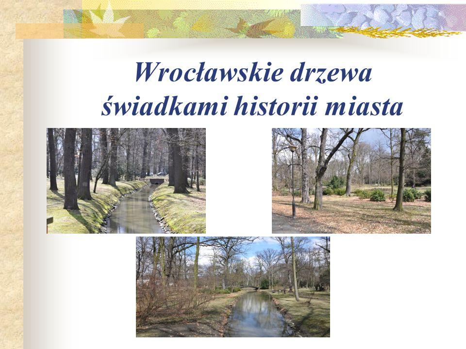 """1. Dąb szypułkowy """"Dziadek Najstarsze drzewo w Parku Szczytnickim nazwane jest """"Dziadkiem ."""