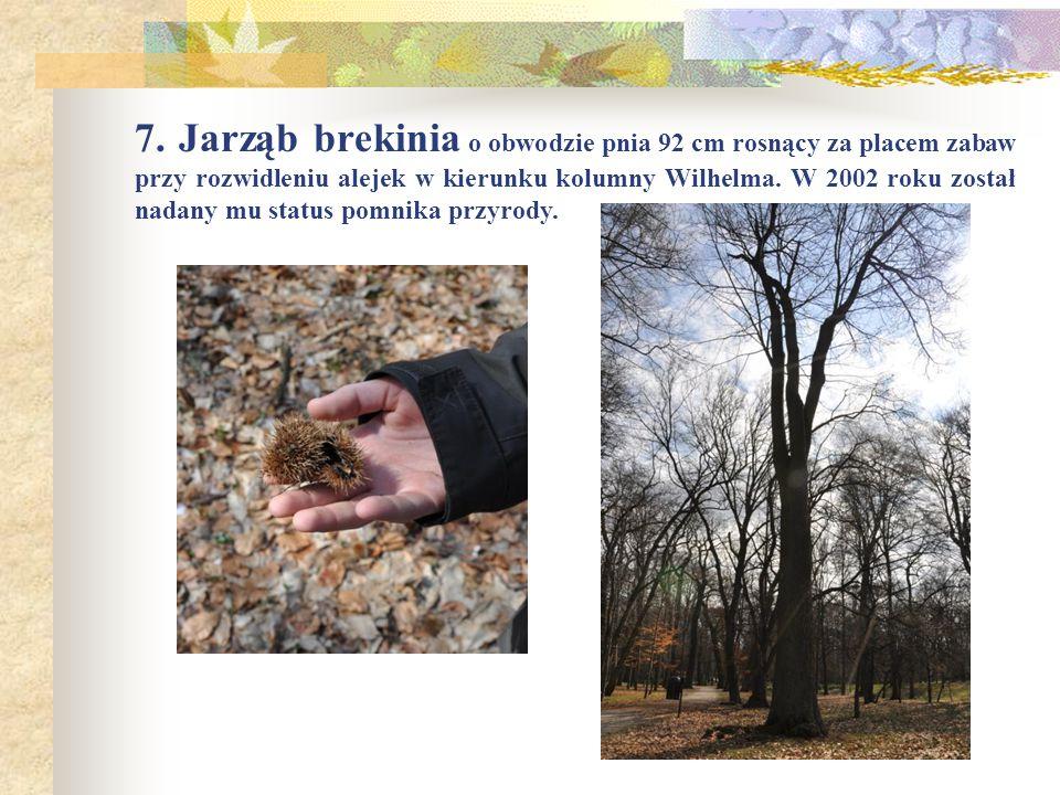 7. Jarząb brekinia o obwodzie pnia 92 cm rosnący za placem zabaw przy rozwidleniu alejek w kierunku kolumny Wilhelma. W 2002 roku został nadany mu sta