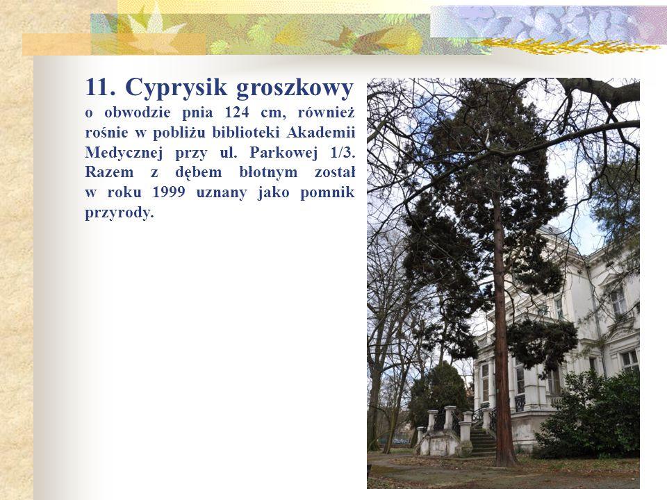 11. Cyprysik groszkowy o obwodzie pnia 124 cm, również rośnie w pobliżu biblioteki Akademii Medycznej przy ul. Parkowej 1/3. Razem z dębem błotnym zos