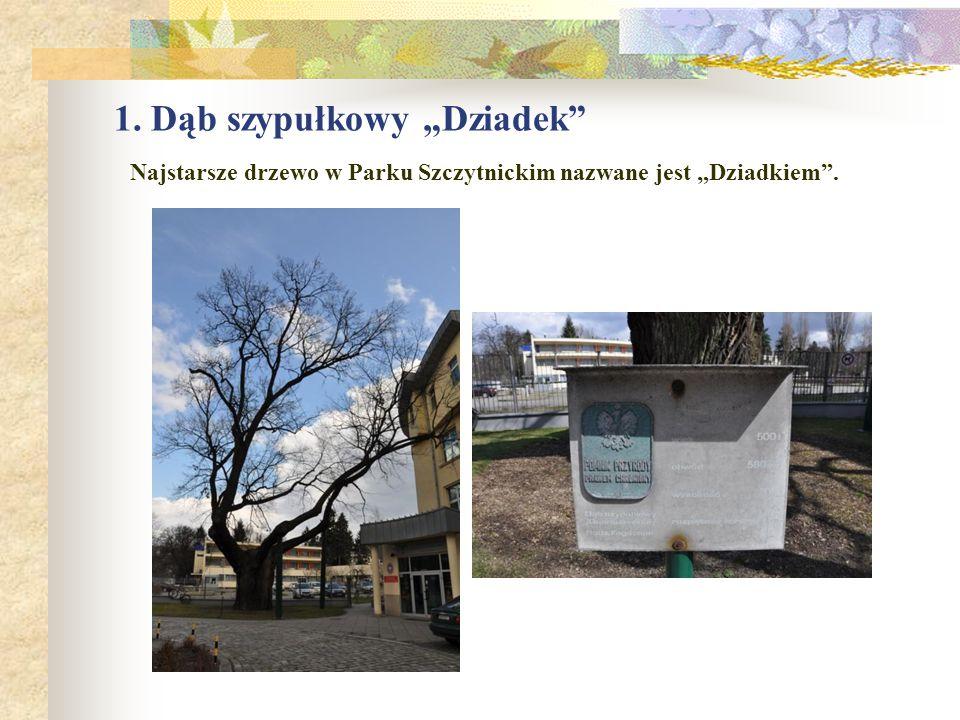 15.Dąb szypułkowy o obwodzie pnia 436 cm, rośnie na terenie II Liceum Ogólnokształcącego przy ul.
