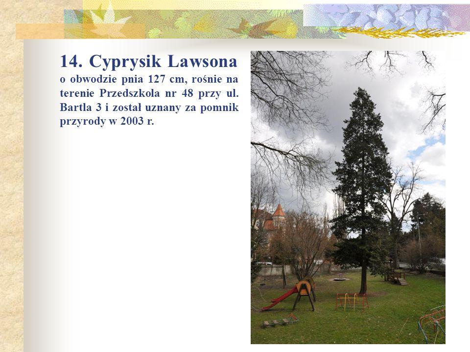 14.Cyprysik Lawsona o obwodzie pnia 127 cm, rośnie na terenie Przedszkola nr 48 przy ul.