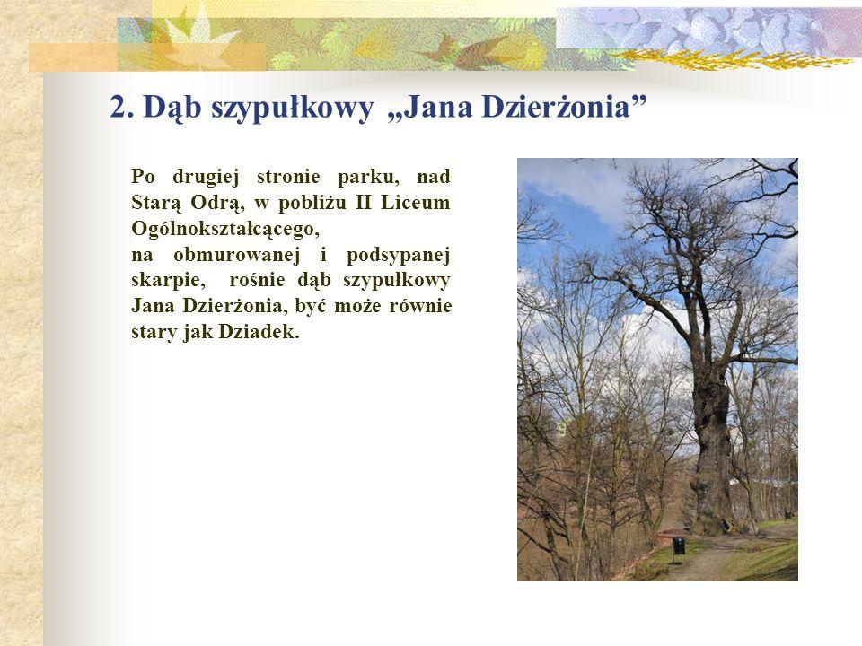 """2. Dąb szypułkowy """"Jana Dzierżonia"""" Po drugiej stronie parku, nad Starą Odrą, w pobliżu II Liceum Ogólnokształcącego, na obmurowanej i podsypanej skar"""