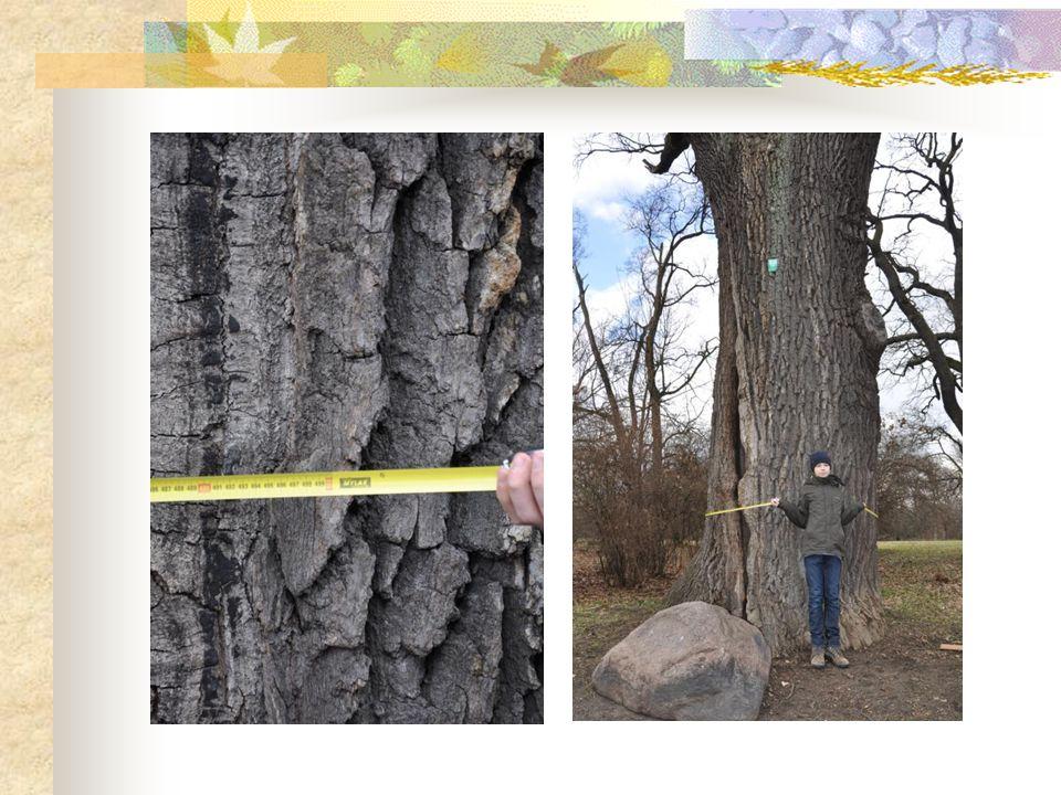 Mam nadzieję, że zachęciłem wszystkich oglądających moją prezentację, do wybrania się na spacer pośród zabytkowych drzew, które nadają naszemu miastu historyczny klimat.