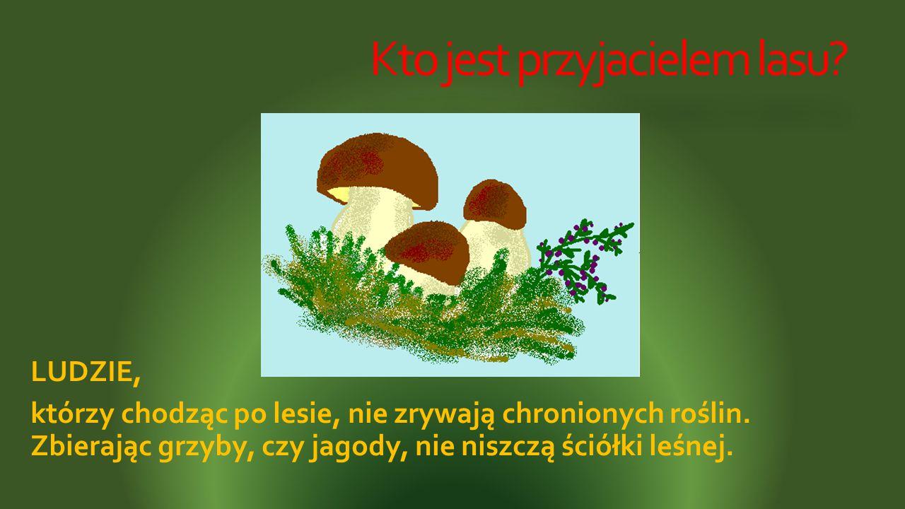 Kto jest przyjacielem lasu? LUDZIE, którzy chodząc po lesie, nie zrywają chronionych roślin. Zbierając grzyby, czy jagody, nie niszczą ściółki leśnej.