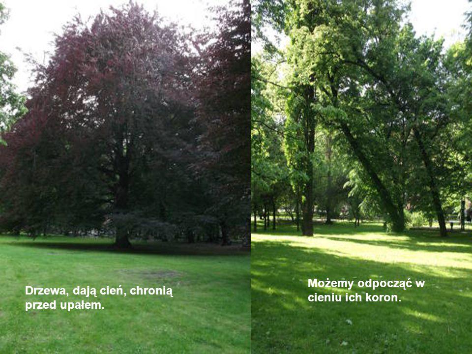 Drzewa, dają cień, chronią przed upałem. Możemy odpocząć w cieniu ich koron.
