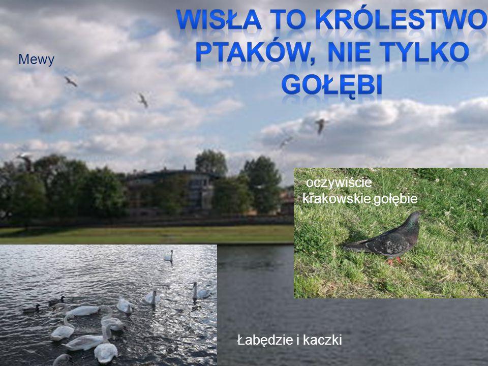Mewy Łabędzie i kaczki oczywiście krakowskie gołębie