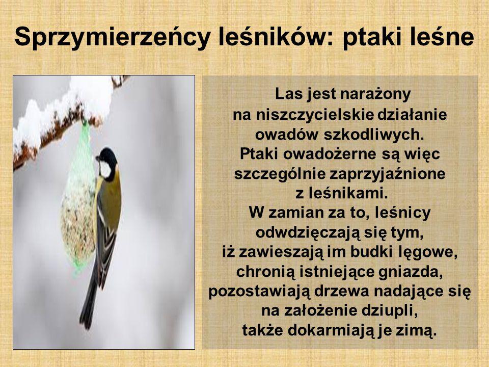 Sprzymierzeńcy leśników: ptaki leśne Las jest narażony na niszczycielskie działanie owadów szkodliwych. Ptaki owadożerne są więc szczególnie zaprzyjaź