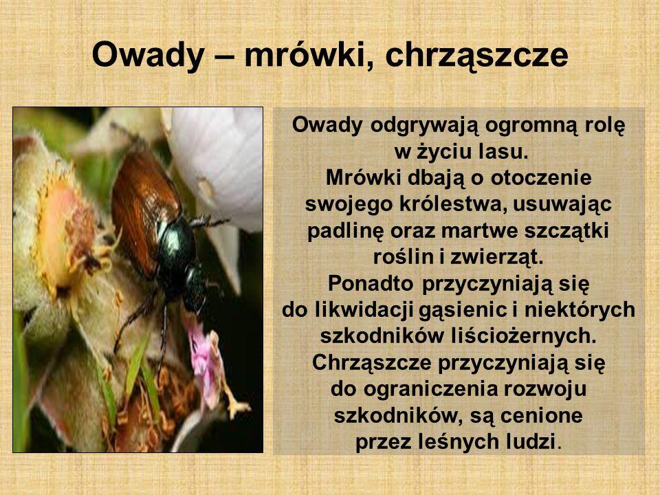 Owady – mrówki, chrząszcze Owady odgrywają ogromną rolę w życiu lasu. Mrówki dbają o otoczenie swojego królestwa, usuwając padlinę oraz martwe szczątk
