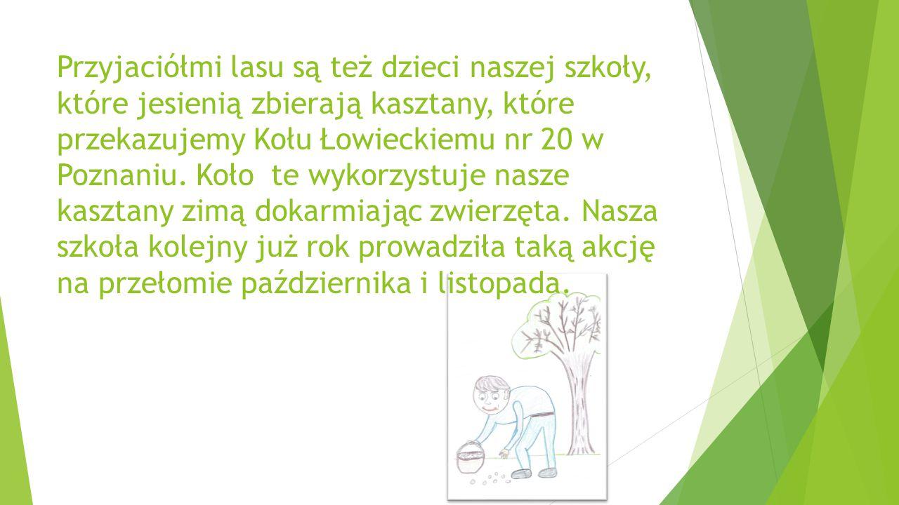 Przyjaciółmi lasu są też dzieci naszej szkoły, które jesienią zbierają kasztany, które przekazujemy Kołu Łowieckiemu nr 20 w Poznaniu. Koło te wykorzy