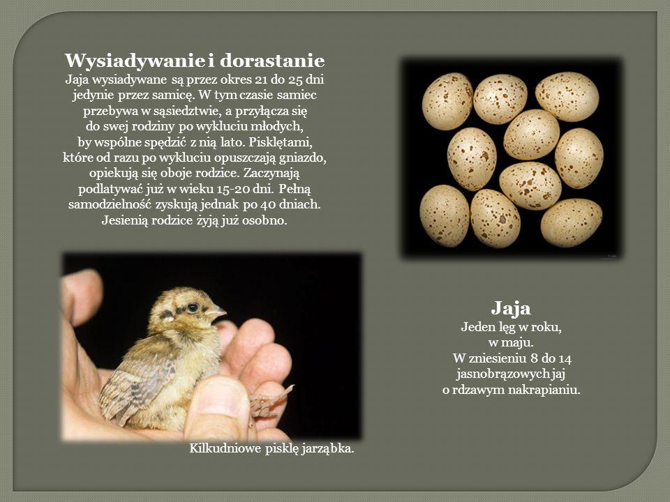 Wysiadywanie i dorastanie Jaja wysiadywane są przez okres 21 do 25 dni jedynie przez samicę.