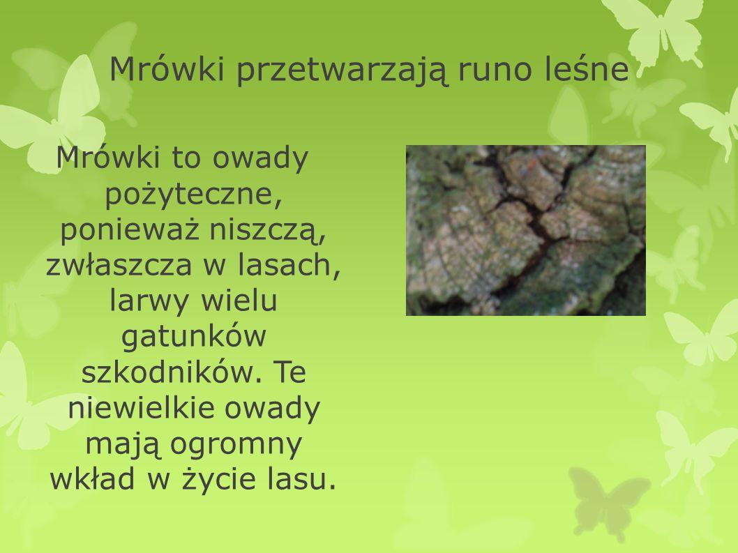 Mrówki przetwarzają runo leśne Mrówki to owady pożyteczne, ponieważ niszczą, zwłaszcza w lasach, larwy wielu gatunków szkodników. Te niewielkie owady