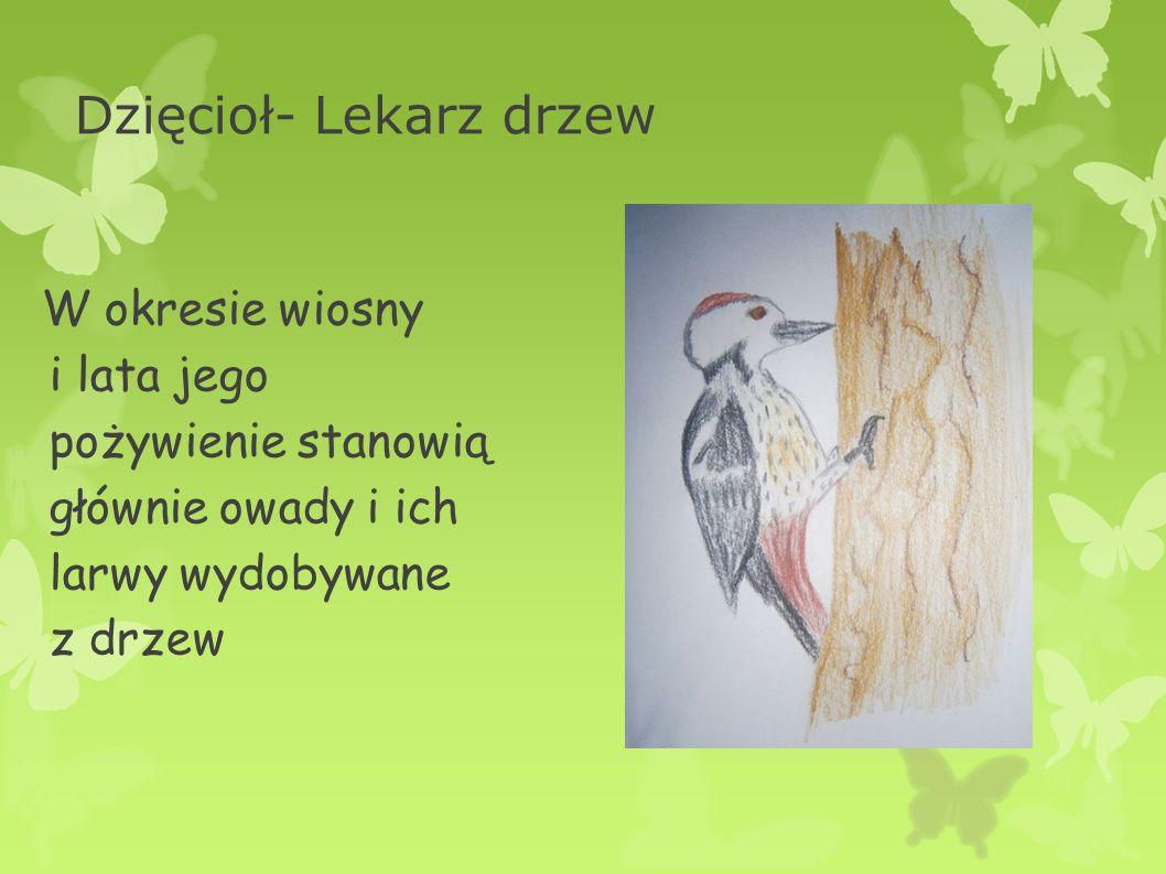 Dzięcioł- Lekarz drzew W okresie wiosny i lata jego pożywienie stanowią głównie owady i ich larwy wydobywane z drzew