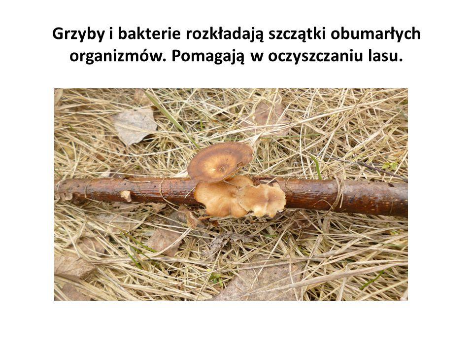 Grzyby i bakterie rozkładają szczątki obumarłych organizmów. Pomagają w oczyszczaniu lasu.