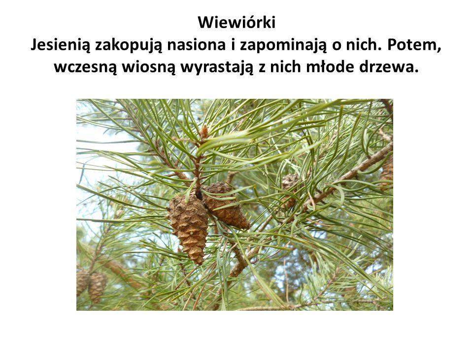 Wiewiórki Jesienią zakopują nasiona i zapominają o nich. Potem, wczesną wiosną wyrastają z nich młode drzewa.