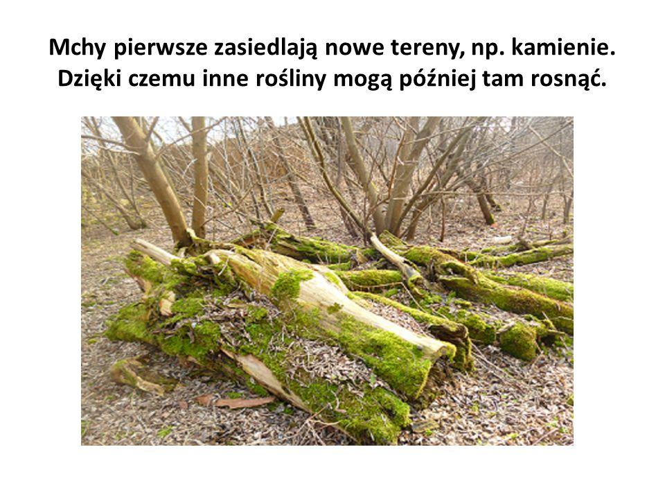 Mchy pierwsze zasiedlają nowe tereny, np. kamienie. Dzięki czemu inne rośliny mogą później tam rosnąć.