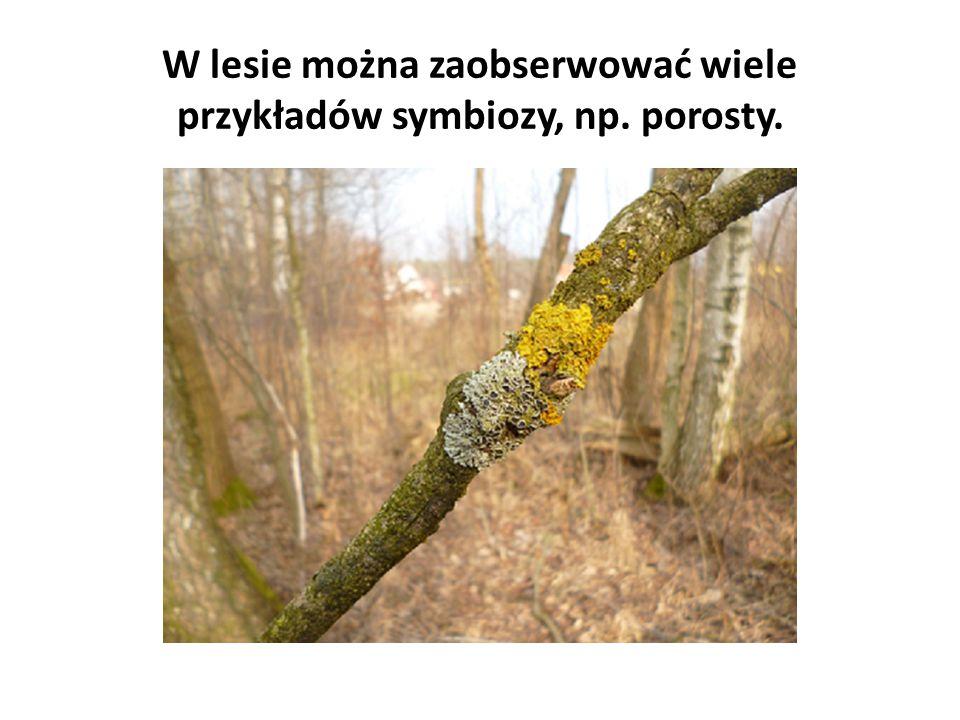 W lesie można zaobserwować wiele przykładów symbiozy, np. porosty.