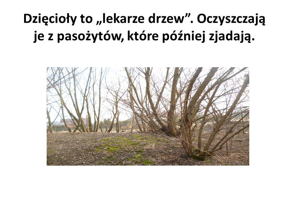 """Dzięcioły to """"lekarze drzew . Oczyszczają je z pasożytów, które później zjadają."""
