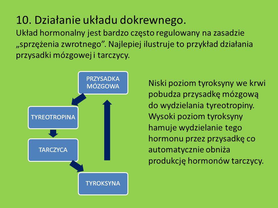 """10. Działanie układu dokrewnego. Układ hormonalny jest bardzo często regulowany na zasadzie """"sprzężenia zwrotnego"""". Najlepiej ilustruje to przykład dz"""