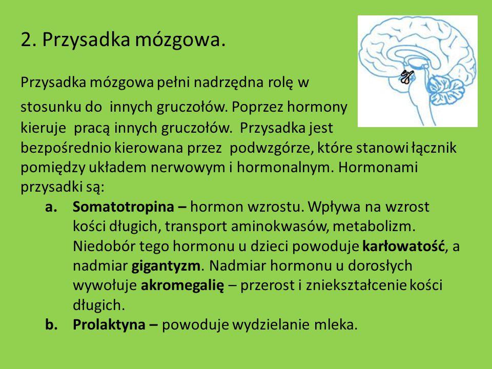 2. Przysadka mózgowa. Przysadka mózgowa pełni nadrzędna rolę w stosunku do innych gruczołów. Poprzez hormony kieruje pracą innych gruczołów. Przysadka
