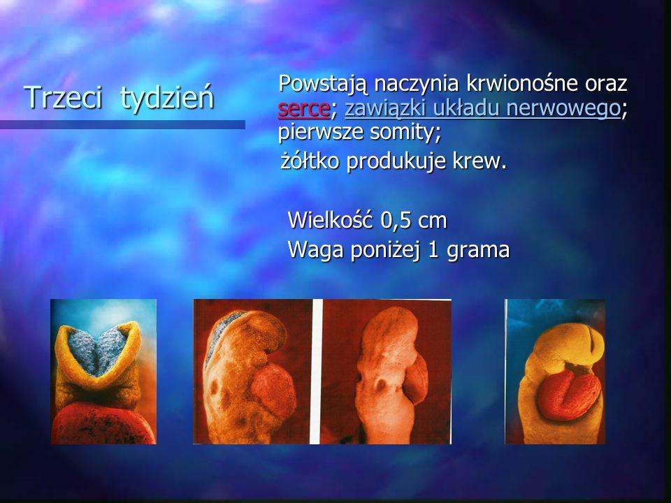 Trzeci tydzień Powstają naczynia krwionośne oraz serce; zawiązki układu nerwowego; pierwsze somity; Powstają naczynia krwionośne oraz serce; zawiązki układu nerwowego; pierwsze somity; żółtko produkuje krew.