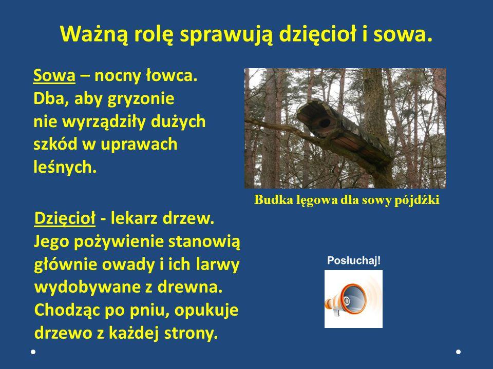 Dzięcioł - lekarz drzew.Jego pożywienie stanowią głównie owady i ich larwy wydobywane z drewna.