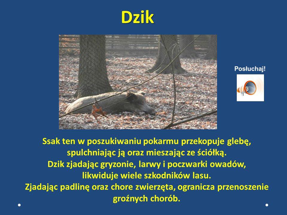 SSAKI żubrdaniel Ssaki to również przyjaciele lasu. Zwiększają poziom bioróżnorodności ekosystemów leśnych.