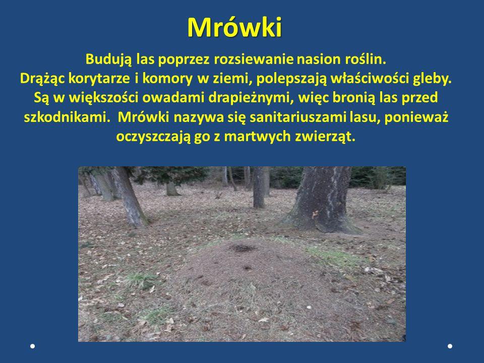 OWADY Do pożytecznych owadów leśnych, bez wątpienia należą mrówki, które tworzą społeczności.