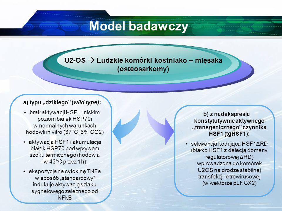"""www.themegallery.com Company Logo Model badawczy U2-OS  Ludzkie komórki kostniako – mięsaka (osteosarkomy) a) typu """"dzikiego (wild type): brak aktywacji HSF1 i niskim poziom białek HSP70i w normalnych warunkach hodowli in vitro (37°C, 5% CO2) aktywacja HSF1 i akumulacja białek HSP70 pod wpływem szoku termicznego (hodowla w 43°C przez 1h) ekspozycja na cytokinę TNFa w sposób """"standardowy indukuje aktywację szlaku sygnałowego zależnego od NFkB b) z nadekspresją konstytutywnie aktywnego """"transgenicznego czynnika HSF1 (tgHSF1): sekwencja kodująca HSF1ΔRD (białko HSF1 z delecją domeny regulatorowej ΔRD) wprowadzona do komórek U2OS na drodze stabilnej transfekcji retrowirusowej (w wektorze pLNCX2)"""