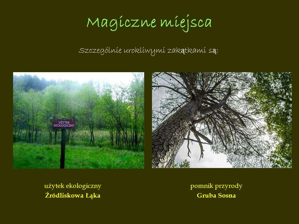Magiczne miejsca Szczególnie urokliwymi zak ą tkami s ą : użytek ekologiczny Źródliskowa Łąka pomnik przyrody Gruba Sosna