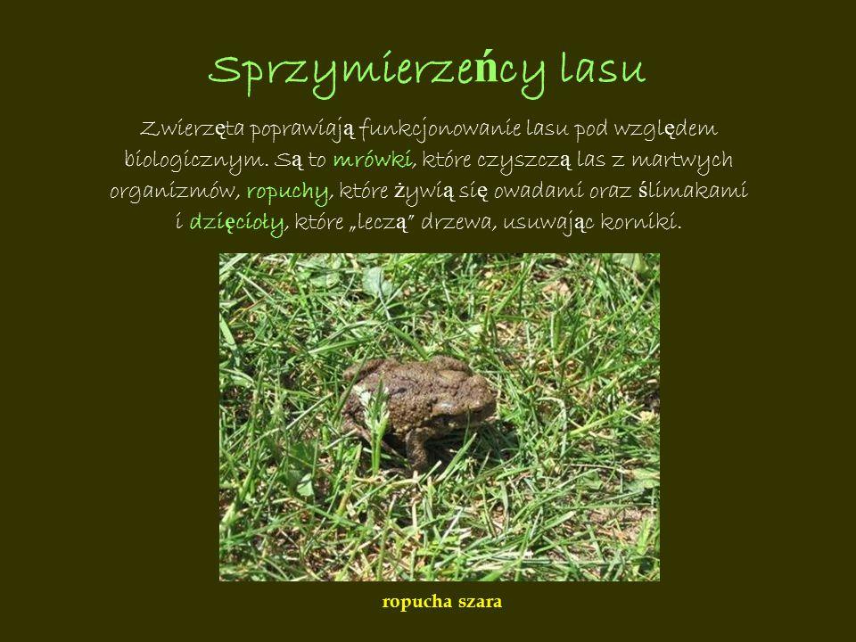 Sprzymierze ń cy lasu Zwierz ę ta poprawiaj ą funkcjonowanie lasu pod wzgl ę dem biologicznym. S ą to mrówki, które czyszcz ą las z martwych organizmó