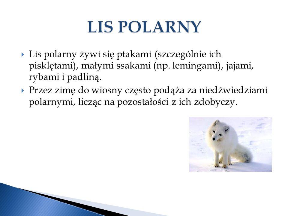  Lis polarny żywi się ptakami (szczególnie ich pisklętami), małymi ssakami (np.