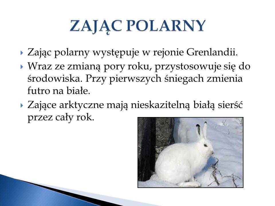  Zając polarny występuje w rejonie Grenlandii.