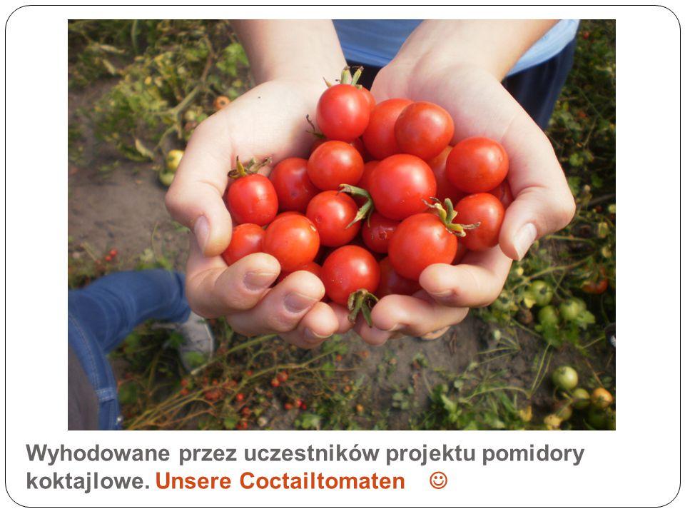 Wyhodowane przez uczestników projektu pomidory koktajlowe. Unsere Coctailtomaten
