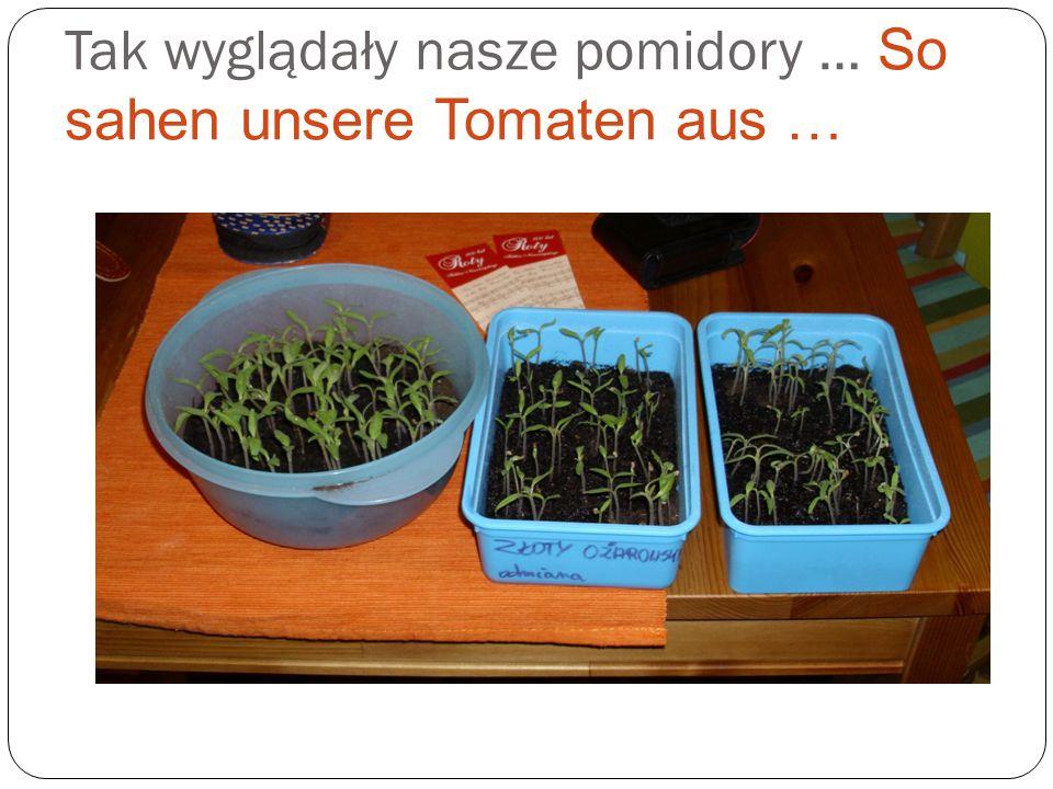 Sadzenie pomidorów przy pomocy naszych włoskich i niemieckich przyjaciół.