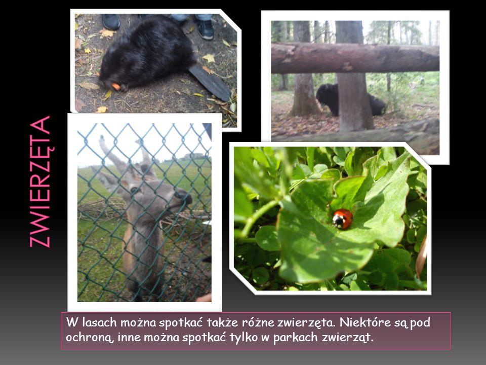 W lasach można spotkać także różne zwierzęta.