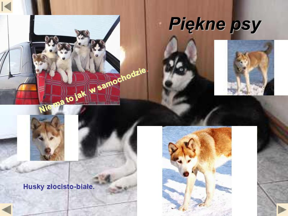 Piękne psy Husky złocisto-białe. Nie ma to jak w samochodzie.