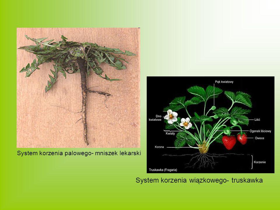 System korzenia palowego- mniszek lekarski System korzenia wiązkowego- truskawka
