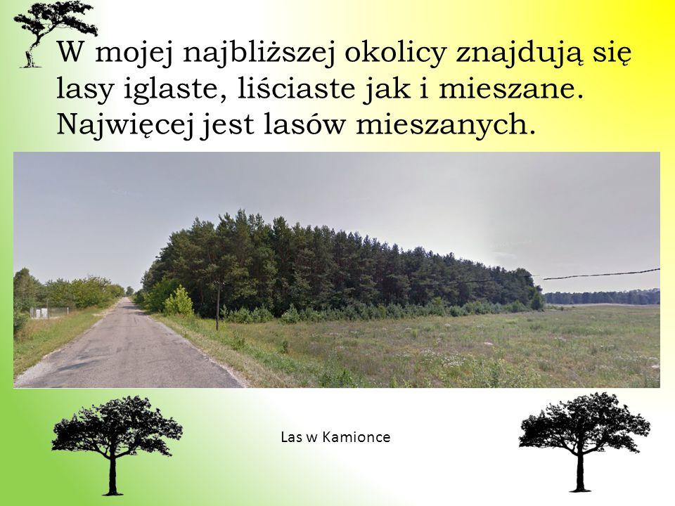 W mojej najbliższej okolicy znajdują się lasy iglaste, liściaste jak i mieszane. Najwięcej jest lasów mieszanych. Las w Kamionce