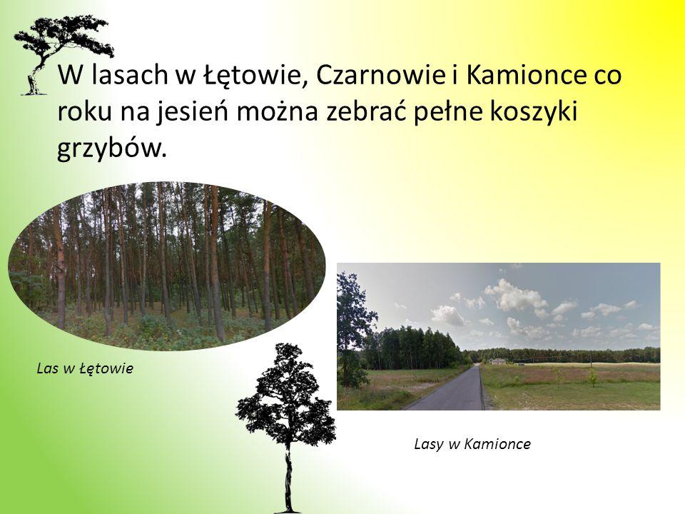 W lasach w Łętowie, Czarnowie i Kamionce co roku na jesień można zebrać pełne koszyki grzybów. Las w Łętowie Lasy w Kamionce