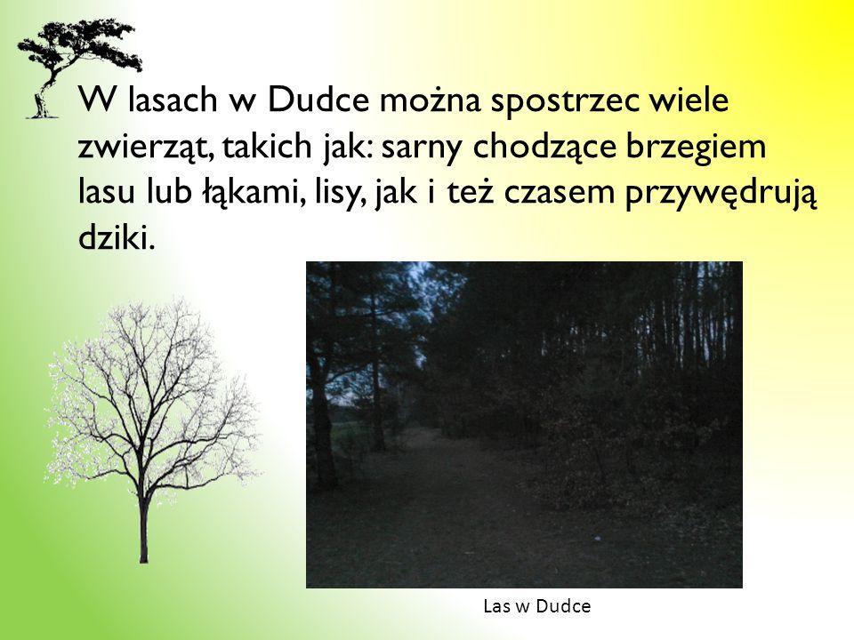 W lasach w Dudce można spostrzec wiele zwierząt, takich jak: sarny chodzące brzegiem lasu lub łąkami, lisy, jak i też czasem przywędrują dziki. Las w