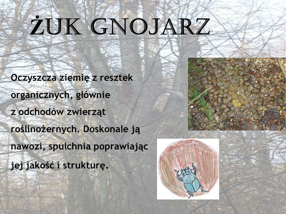LE Ś NY LEKARZ Dzięcioł znany jako doktor drzew zjada korniki ukryte w korach chroniąc je przed obumarciem.