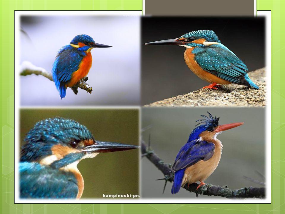 Ubarwienie jednakowe dla obu płci. Po stronie grzbietowej jest niebieski. Skrzydła są ciemno- i jasnozielone, miejscami z niebieskim odcieniem. Brzuch