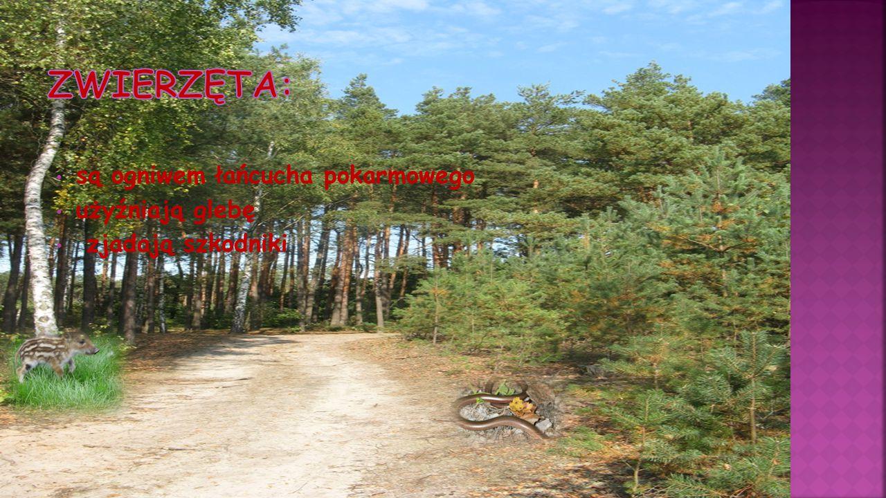 sprawuje nadzór nad sadzeniem lasu opiekuje się zwierzyną leśną pilnuje, by kłusownicy nie zakładali wnyk i nie polowali