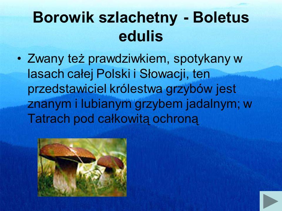 Borowik szlachetny - Boletus edulis Zwany też prawdziwkiem, spotykany w lasach całej Polski i Słowacji, ten przedstawiciel królestwa grzybów jest znanym i lubianym grzybem jadalnym; w Tatrach pod całkowitą ochroną