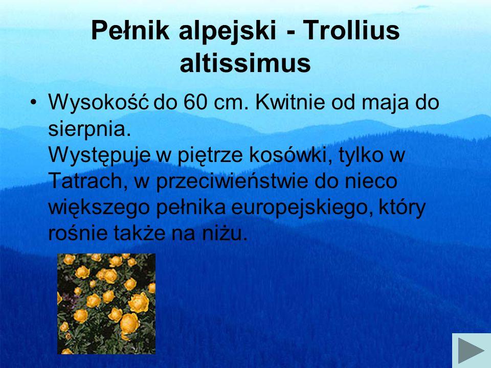 Pełnik alpejski - Trollius altissimus Wysokość do 60 cm.
