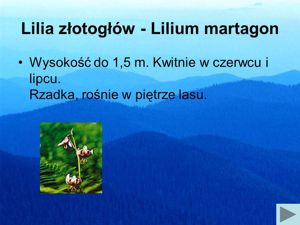 Lilia złotogłów - Lilium martagon Wysokość do 1,5 m.