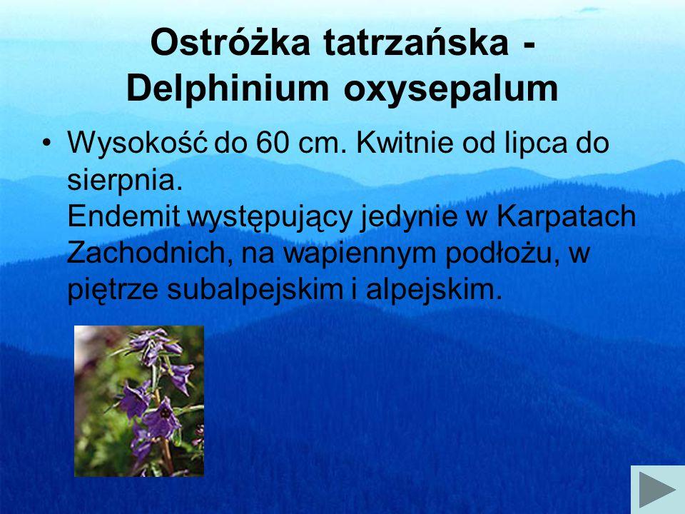 Ostróżka tatrzańska - Delphinium oxysepalum Wysokość do 60 cm.