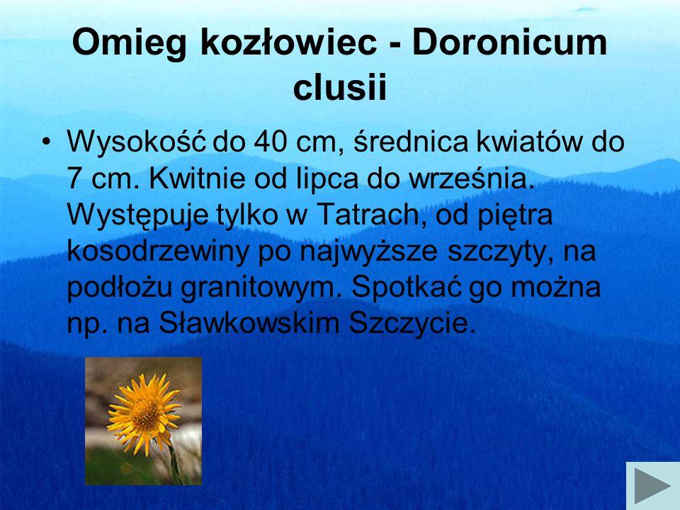 Omieg kozłowiec - Doronicum clusii Wysokość do 40 cm, średnica kwiatów do 7 cm.